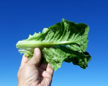 Lettuce Frost Damage Example 2