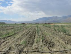 Olive research plots at CVARS