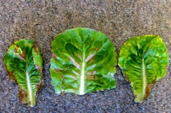 Lettuce Mosaic Virus Example 1